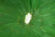 端午节绿色粽叶包粽子图片