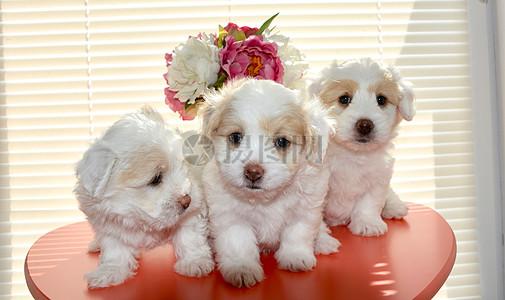 可爱的小白狗图片