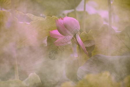 荷花与雾图片