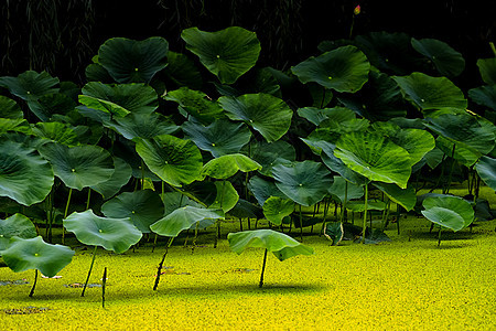 夏季池塘荷叶图片