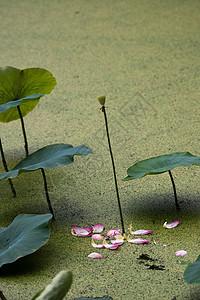 花瓣掉落一地的荷花图片