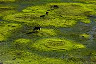 草原上吃草的马图片