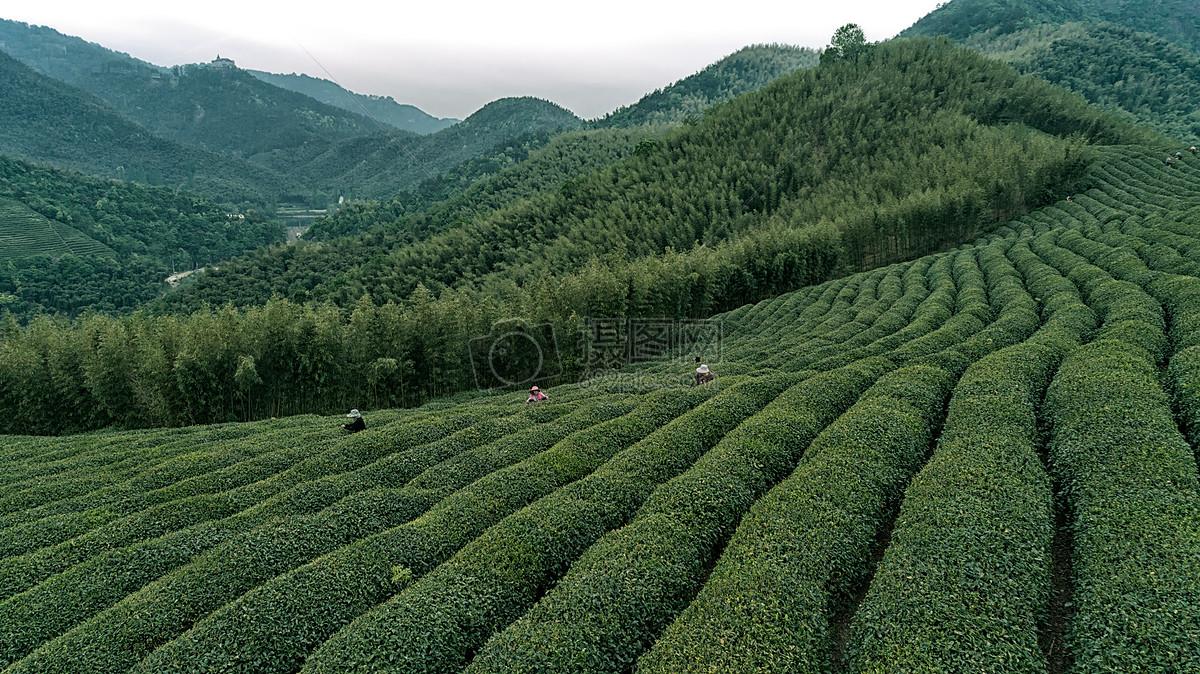 老白茶散茶与茶饼