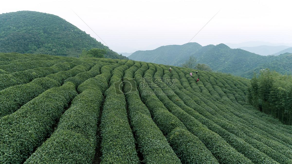 白茶有哪些功效与作用_功效和作用