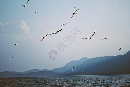 海上飞翔的大雁图片
