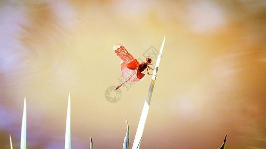 热带红色昆虫蜻蜓图片