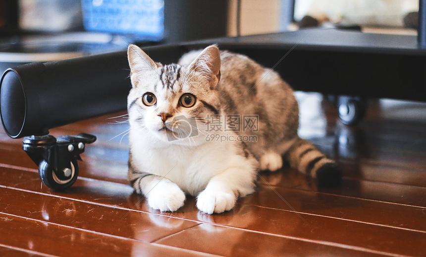 美国短尾猫摄影图片免费下载_动物图库大全_编号-摄