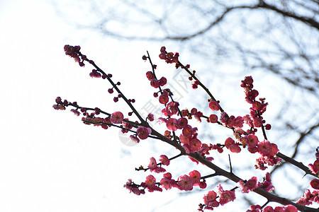 含苞待开的梅花图片