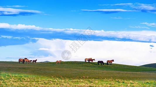 内蒙草原上自由自在的马图片