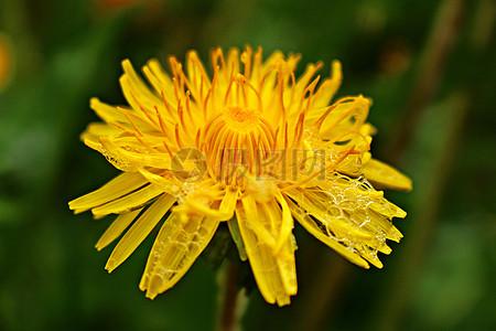 蒲公英花朵图片