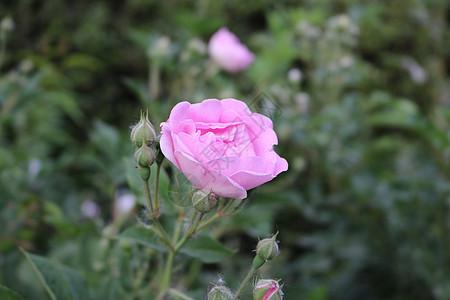粉色的月季花图片
