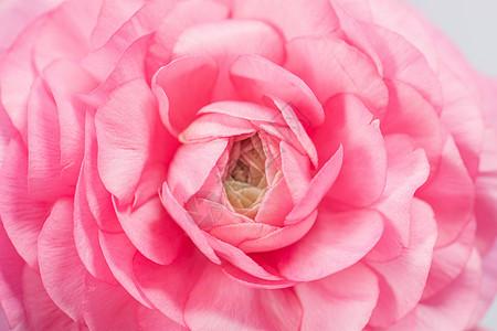 花卉洋玫图片