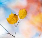 秋天枫树枫叶图片