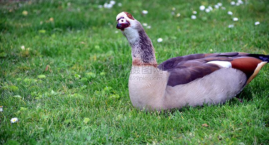 草地上的鸭鹅摄影图片免费下载_动物图库大全_编号-摄