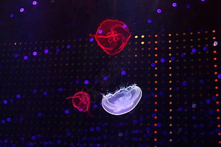 水母  海洋生物图片
