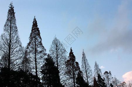蓝天下的杉树图片