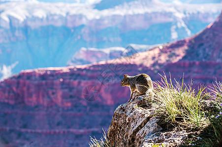 美国大峡谷公园的小松鼠图片