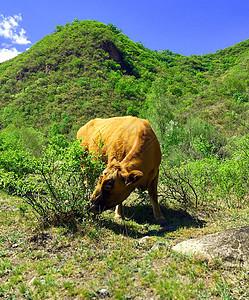 吃草的牛哞哞图片