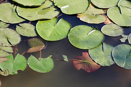 池塘睡莲图片