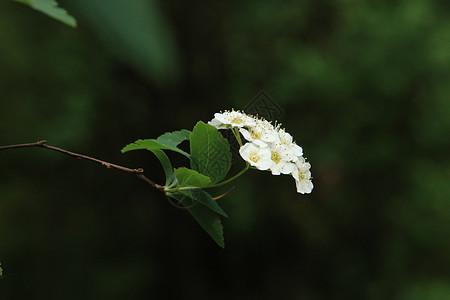 野山楂花图片