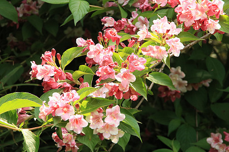 粉色花图片