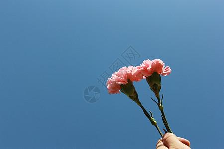 粉色的花康乃馨图片