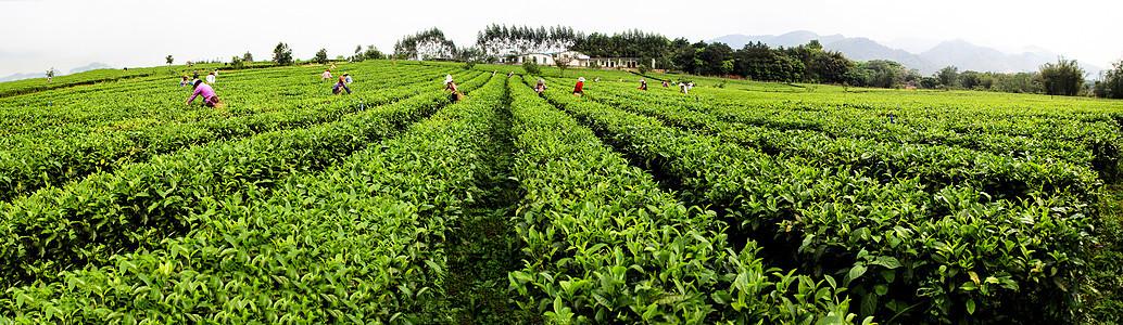茶园茶叶图片