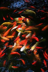欢腾锦鲤图片