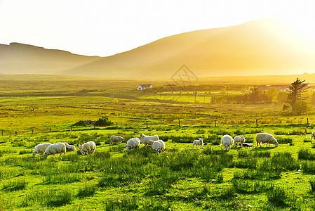 英国天空岛草原黄昏绵羊图片