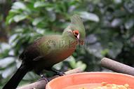 绿丝冠僧帽鸟图片