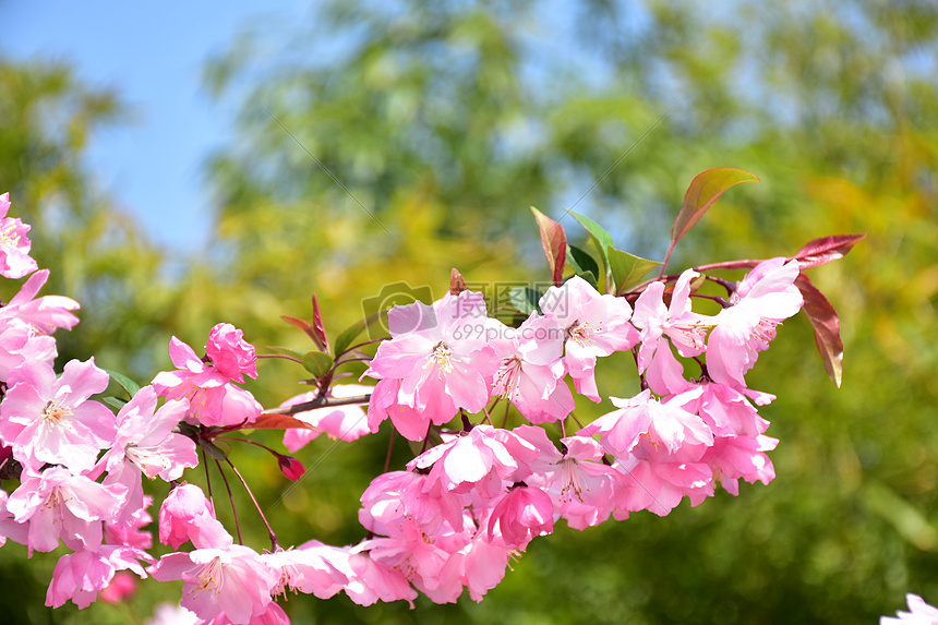 阳光下盛开的红花摄影图片免费下载_花草树木图库大全图片