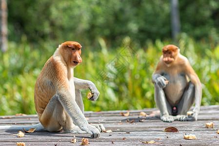 马来西亚长鼻猴图片