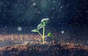 雨天从土地里长出的嫩芽图片