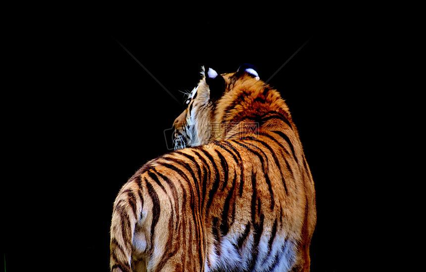 老虎背影摄影图片免费下载_动物图库大全_编号-摄