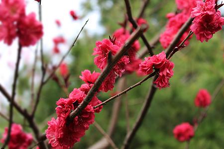 鲜艳的红色的桃花图片