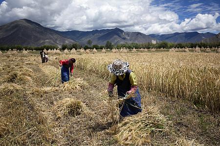 妇女在田野里收获图片