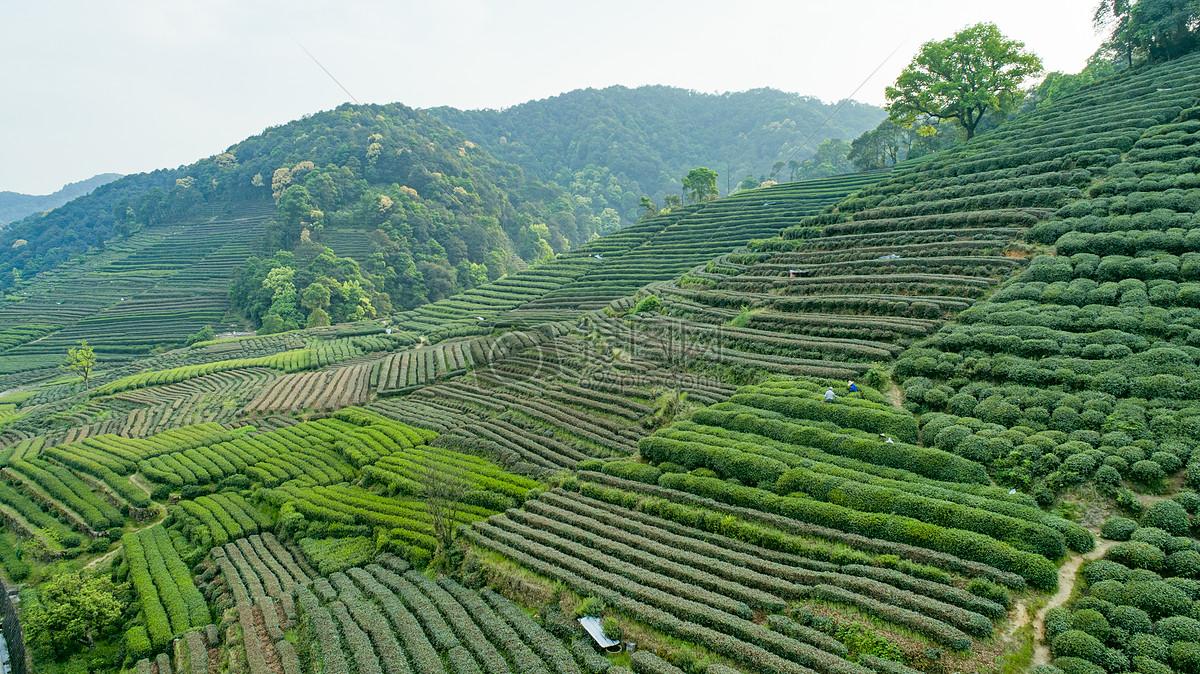 安吉白茶树