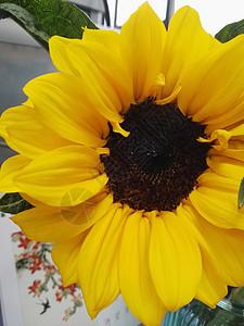 黄色的向日葵图片