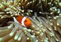 小丑鱼-热带海水鱼图片