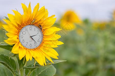 钟表向日葵图片
