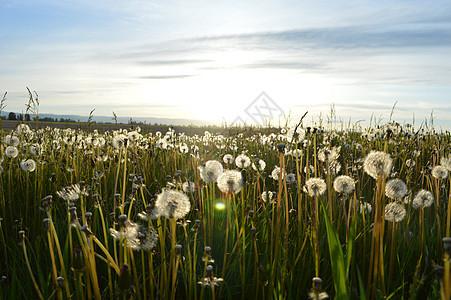 阳光明媚草地上的蒲公英图片