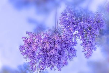 蓝花楹图片