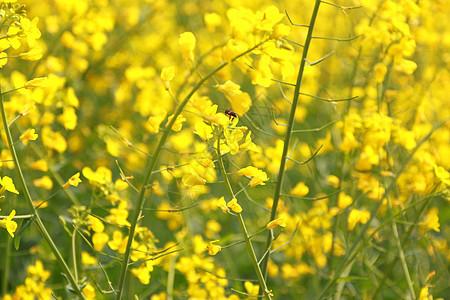 油菜花蜜蜂图片