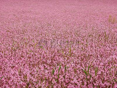 粉色花海高清图片