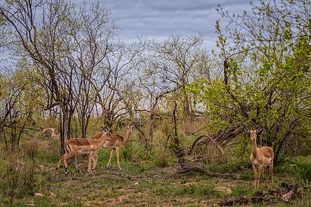 南非克鲁格国家公园的羚羊图片