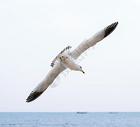 海鸥翱翔图片