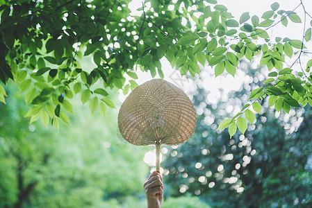 夏日蒲扇图片