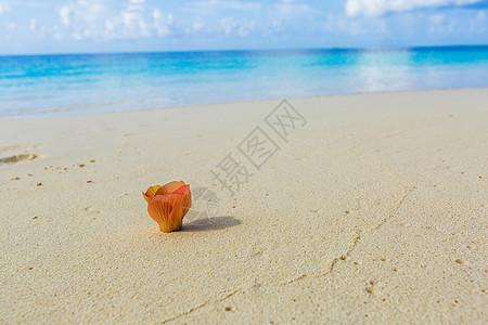 马尔代夫海滩边的花图片