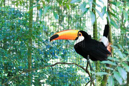红嘴鸟图片