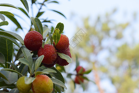 杨梅树下的成熟与未成熟的杨梅图片